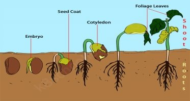 Image result for germination of a seed