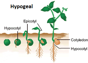 Image result for hypogeal germination diagram